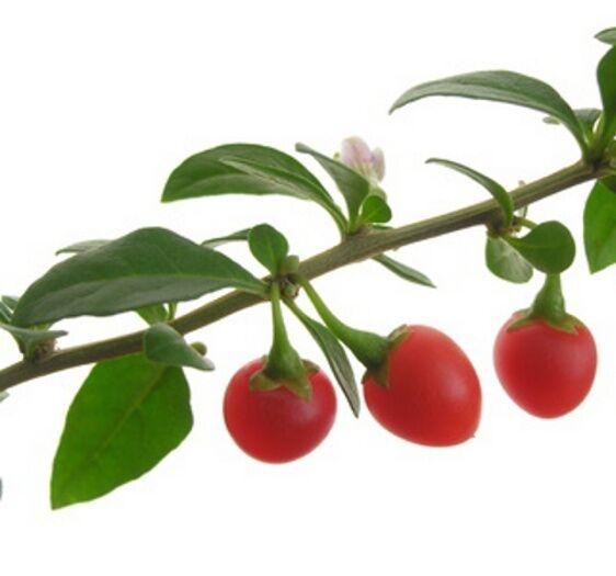 100 Samen Echte Gojipflanze (Lycium chinense), Goji-Beere, Wolfsbeere, gesund