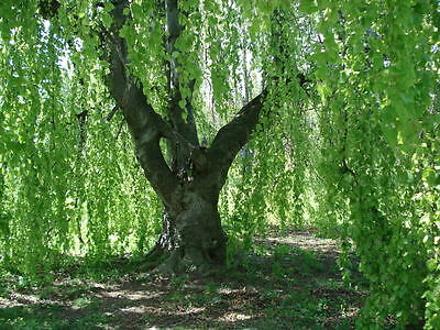 50 SILVER WEEPING BIRCH TREE White European Betula Pendula Alba Seeds * Comb S/H
