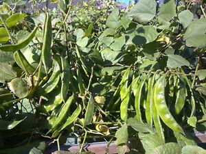 Hyacinth-Bean-Indian-Bangladeshi-Bean-A-Very-Delicious-Variety-5-Seeds