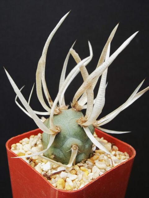 Tephrocactus Articulatus exotic rare cacti paper spines succulent cactus plant 2
