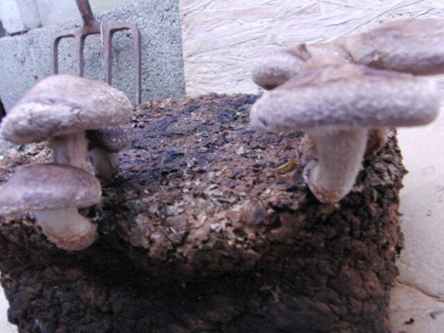 Mushroom Spawn (seeds) - Shiitake Mushrooms