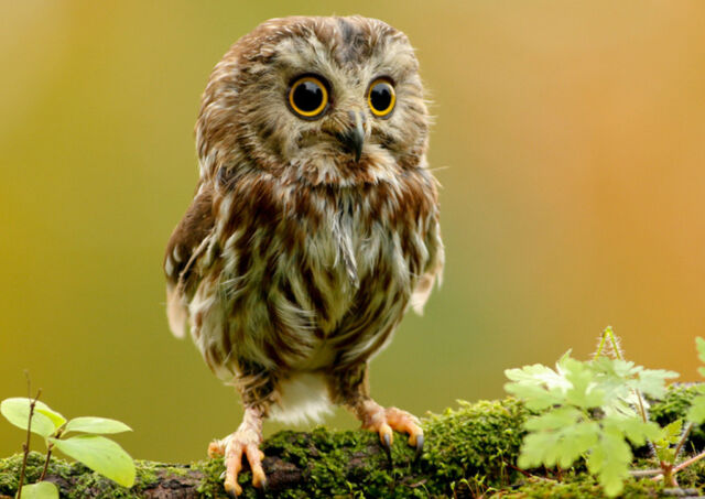 CUTE Baby Owl Home Decor Canvas Print A4 Size (210 x 297mm)