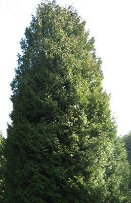 400 Samen Abendländischer Lebensbaum (Thuja occidentalis), Heckenpflanze, Hecke