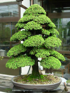 SACRED-JAPANESE-CEDAR-20-Semillas-bonsai-seeds-semi