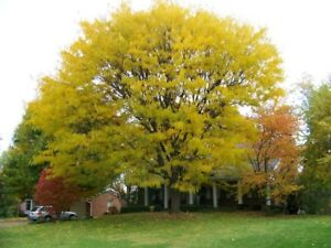 Honeylocust-Gleditsia-triacanthos-inermis-Tree-Seeds-Fast-Hardy-Fall-Color