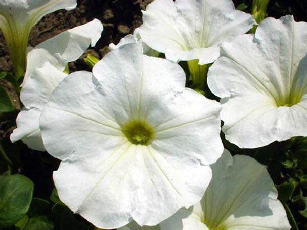 FLOWER PETUNIA NANA COMPACTA SNOWBALL WHITE 1000 SEEDS