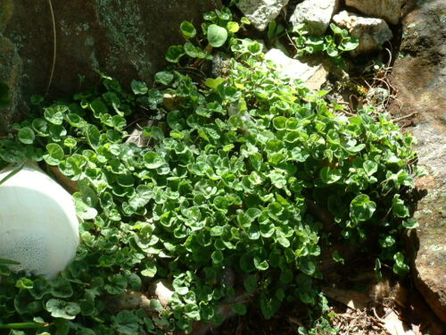 Ground Covers/& Climbers Collection 12 seeds per species