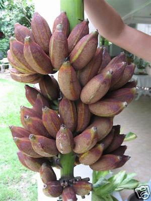 1 Bulb Musa ABB group Kluai Nam Wa Dam Banana Plant + Phytosanitary Certificate