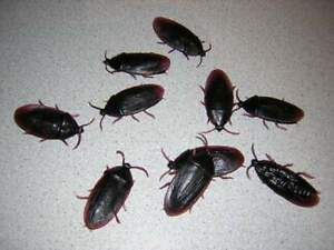 COMBO-12-FAKE-ROACHES-and-1-Pack-Of-Fake-Spider-PRANK-GAG-BUGS-LOOK-REAL