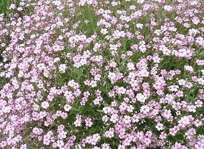 """75+ PERENNIAL FLOWER + GROUNDCOVER SEEDS - CREEPING BABY'S BREATH """"ROSE"""""""