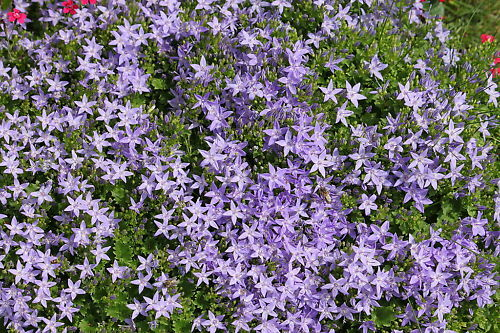 Polster - Glockenblume  Steingartenpfl. Samen / Saatgut