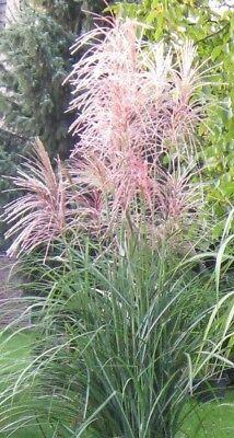 20 Samen Chinaschilf (Miscanthus sinensis), Ziergras, bis 3 m hoch, lila Rispen