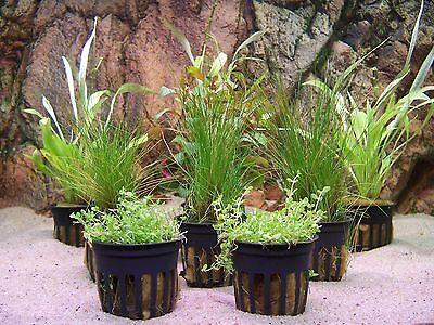 Wasserpflanzen Aquariumpflanzen Topfpflanzen Bundpflanzen  Nano Aquaristik Set 1