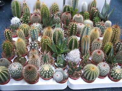 CACTI CACTUS PLANTS COLLECTION OF 6 MIXED ASSORTED