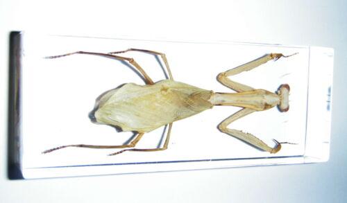 Praying Mantis Paratenodera sinensis 11x43x20 mm Block Education Insect Specimen