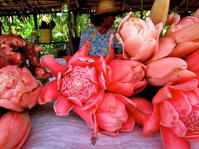 5 semi di Etlingera elatior ROSE GIGANTI INDONESIANE (seeds korn samen)