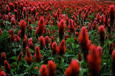 """Crimson Clover """" Trifolium incarnatrum """" 250 Seeds"""