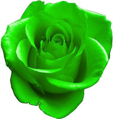 "Perennials Beautiful Floribunda Roses ""Green Rose Seeds"""