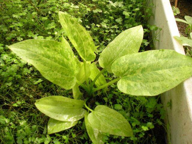 1 echinodorus marble queen variegata  plante  aquarium tres rare