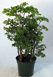 Ming-Pre-Bonsai-Tree-Plant-Polyscias-Indoor-4-034-Pot