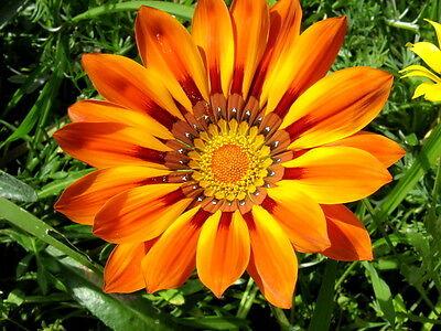 Gazanie Prachtmischung Gazania Mittagsblume Mittagsblumen Sonnenblume 30 Samen
