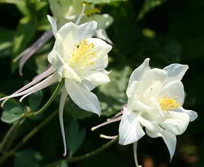 25 CRYSTAL STAR WHITE COLUMBINE Aquilegia Caerulea Flower Seeds *Comb S/H