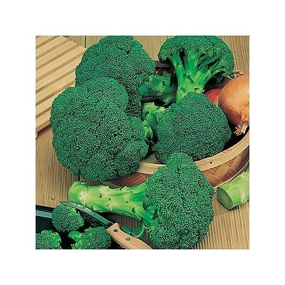 VEGETABLE  BROCCOLI CALABRESE GREEN SPROUTING  1600 SEEDS
