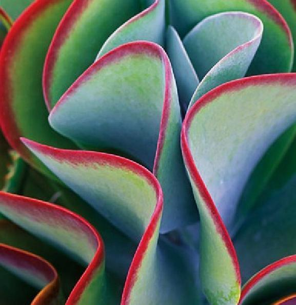 Kalanchoe Thyrsiflora exotic rare xeriscaping mesembs succulents seed 15 SEEDS