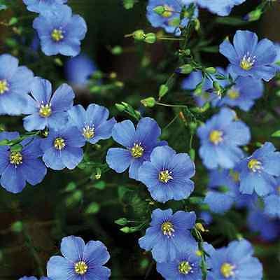 FLOWER LINUM PERENNE BLUE FLAX 3 GRAM ~ APPROX 1900 SEEDS