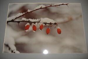 Ralph-Gibson-Original-Signed-Photograph-Still-Life-Berries-on-a-Branch-Winter