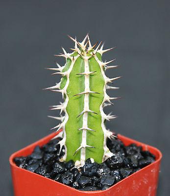 """EUPHORBIA GRANITICOLA exotic  rare cactus plant cacti bonsai succulent 2"""" pot"""