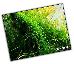 Moss - Fissidens, Peacock and more - Live Aquatic Aquarium Tropical Tank Plants
