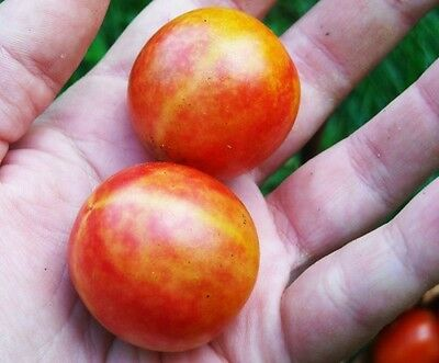 RED YELLOW STRIPED CHERRY TOMATO ISIS CANDY  BI-COLOR 20 PROFESSIONAL seeds