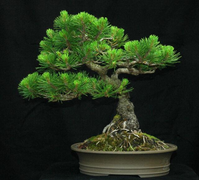 Mugo Pine, Pinus mugo Montana, Tree Seeds (Hardy Evergreen, Bonsai, Topiary)