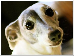 4-Dog-Dogs-Puppies-Puppy-Italian-Greyhound-Pets-Greeting-Notecards-Envelopes