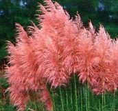 Foilage-Ornamental-034-Pink-Pampas-Grass-034-Cortaderia