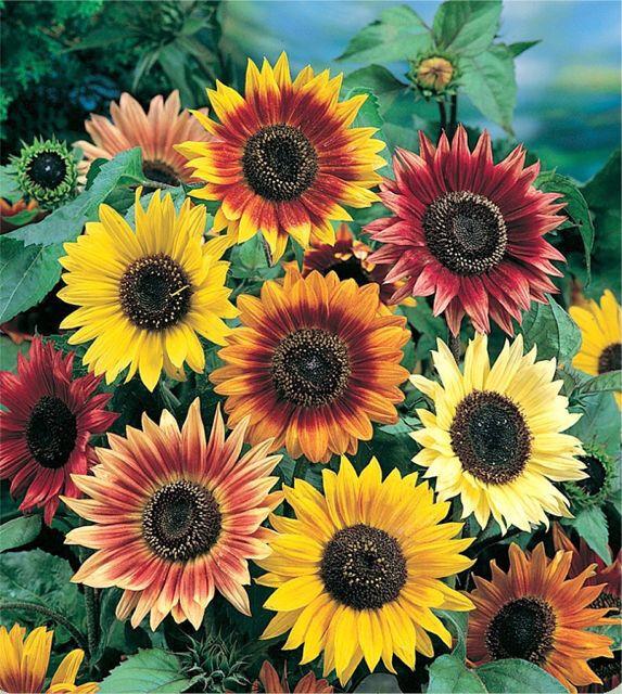 Sunflower AUTUMN BEAUTY 10 Seeds (HEIRLOOM) Flowers