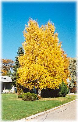 Paper Birch, Betula papyrifera, Tree Seeds (Fast, Hardy, Fall Color)