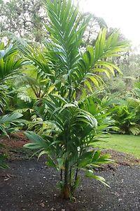 LIVE SEEDLING Areca triandra RARE Bamboo Stem Palm Tree Fast Grow ...