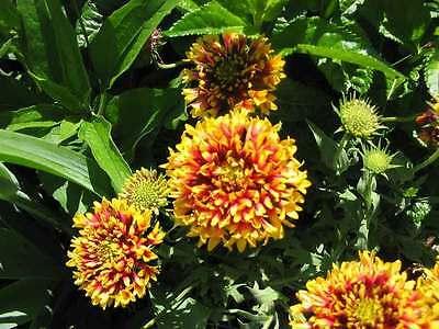 30 SUNDANCE BICOLOR GAILLARDIA Pulchella Indian Blanket Flower Seeds *Comb S/H