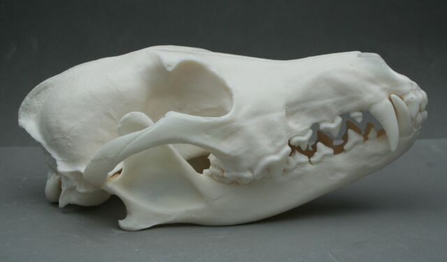 Coyote Animal Skull Replica Taxidermy Study Ornament Prop Gift Canis Christmas