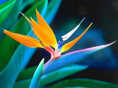 5 TROPICAL BIRD OF PARADISE Mallowwort Mallow - Strelitzia Reginae Flower Seeds