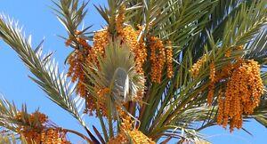 True-Date-Palm-Phoenix-dactylifera-Tree-Seeds-Showy-Edible-Evergreen