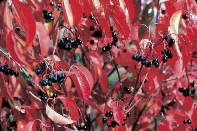 Nannyberry, Viburnum lentago, Seeds (Hardy, Edible, Fall Color, Fast)