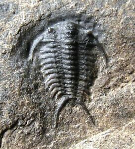 Walcott-Rust-quarry-trilobite-Ceraurus-pleurexanthemus-New-York-fossil