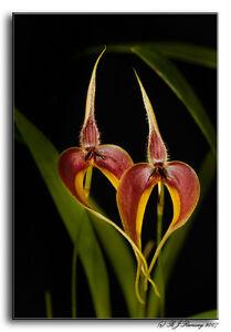 Rare-orchid-species-young-plant-Bulbophyllum-Blumei