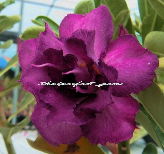 "ADENIUM OBESUM DESERT ROSE ""doubleviolet"" 100 SEEDS"