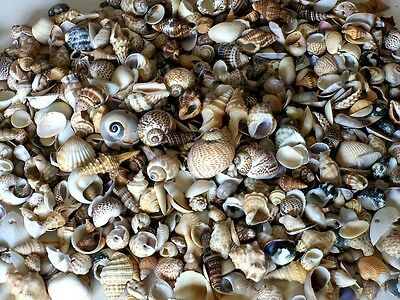 "ONE (1)  POUND SMALL INDIAN OCEAN MIXED SEA SHELL 3/4""to 1""  DECOR CRAFT  TROPIC"