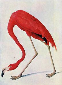 Audubon-Flamingo-by-John-James-Audubon-20-034-x26-034-Art-on-Canvas