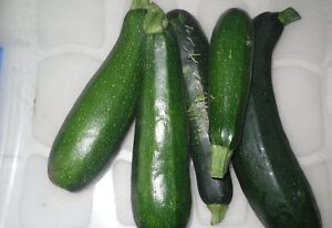 100 samen zucchini black beauty seeds squash free shipment. Black Bedroom Furniture Sets. Home Design Ideas